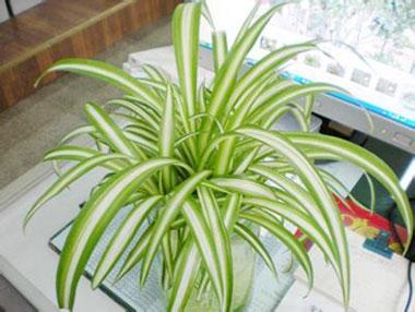 盆栽吊兰的栽培养护 家庭绿色过滤器一一吊兰