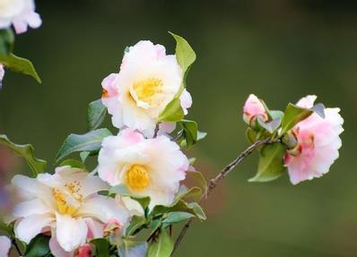 邓丽君演唱的《山茶花》是专辑《歌曲精选c》中的一首.