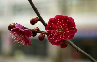 腊梅花的功效和作用有哪些 腊梅花的食疗功效