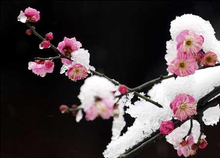 关于梅花的诗句古诗集锦