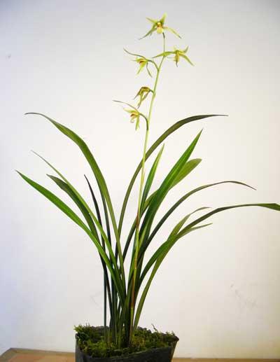 中国兰花怎么养?怎么给兰花浇水